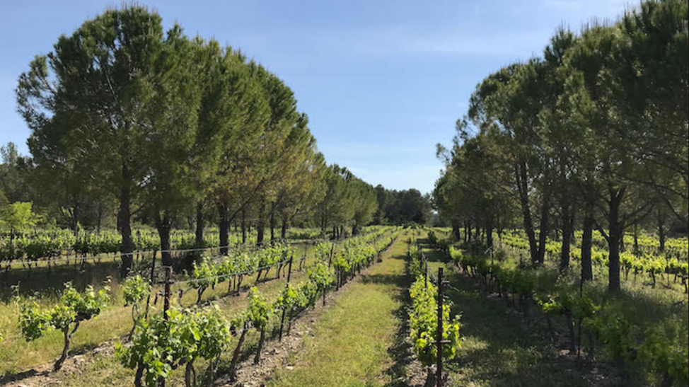 Planting trees could help winegrowers adapt to global warming, French researchers say