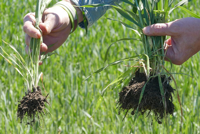 Wheat roots