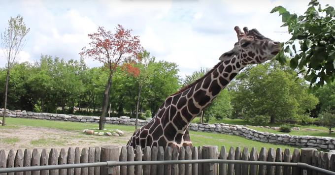 Detroit Zoo giraffe