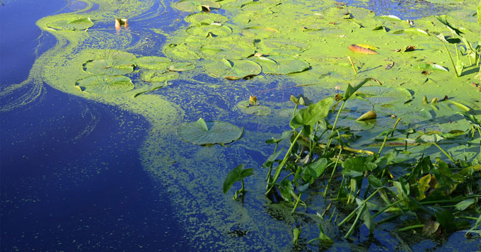 Algae could be turned into climate-friendly food and fuel