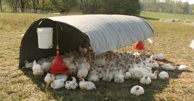 Chickens