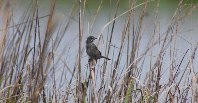 MacGillivray's seaside sparrow