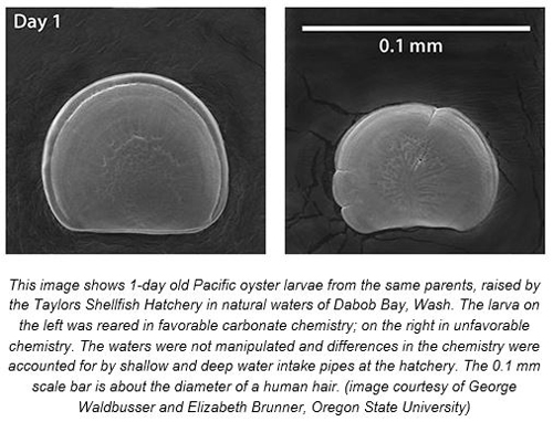 Image of oyster larvae from