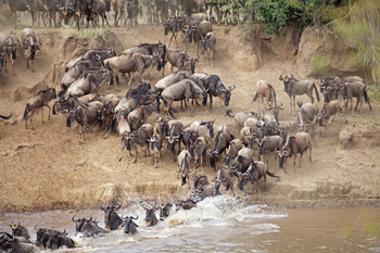 Wildebeest migrating and crossing  river
