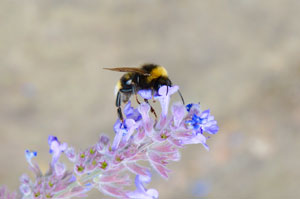 Bumblebee photo