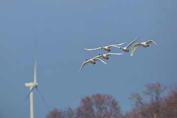 Wind turbine and birds flying nearby