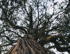 Tall cyprus tree