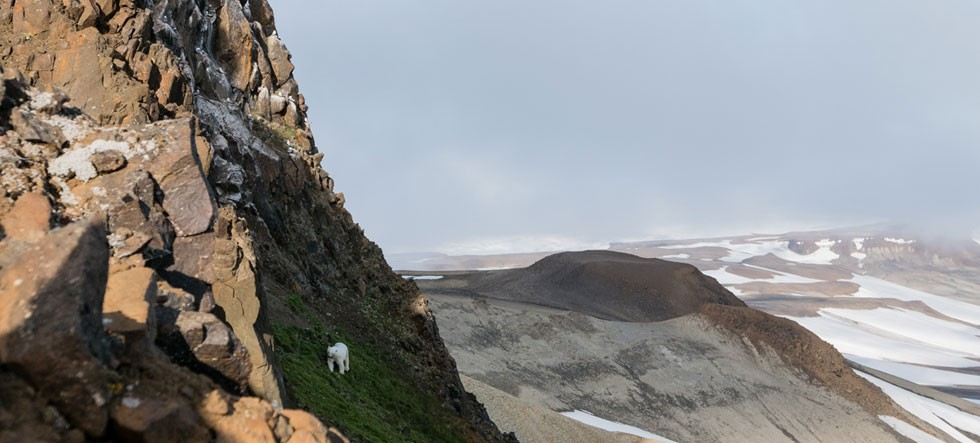 Polar bear walking up rocky mountainside