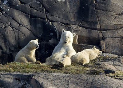 Polar bears lounging