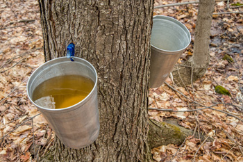 Maple sap being collected
