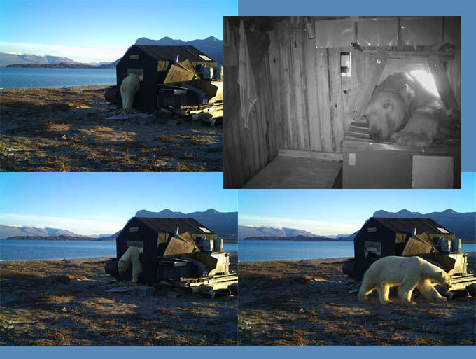 Polar bear breaking into camp site (collage)