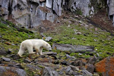 Polar bear on land