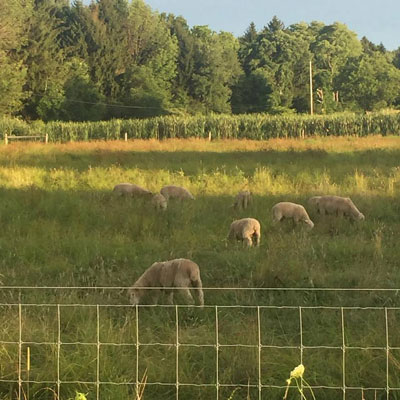 Walnut Hill sheep
