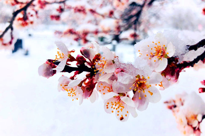 Spring blossoms with snow