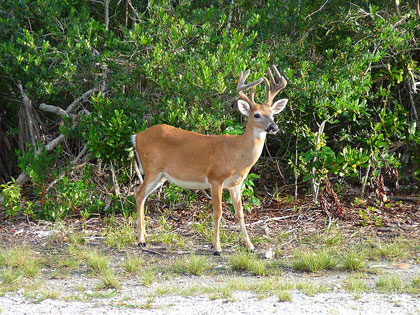 Male Key deer