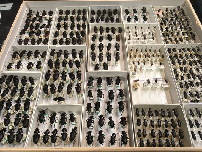 Museum beetles display