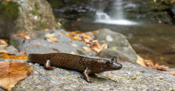 Black-bellied salamander