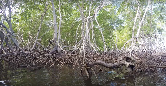 Salvadoran_mangroves