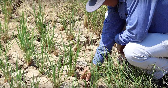 Salinity intrusion on rice crop