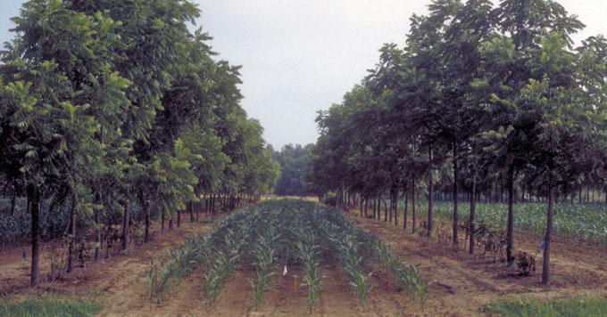 Farmers plant trees alongside crops