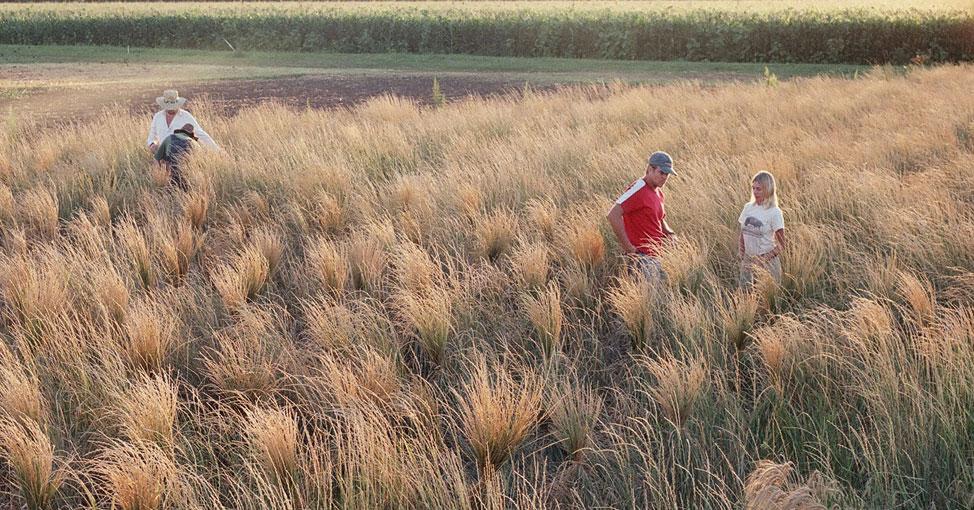 Field of kernza