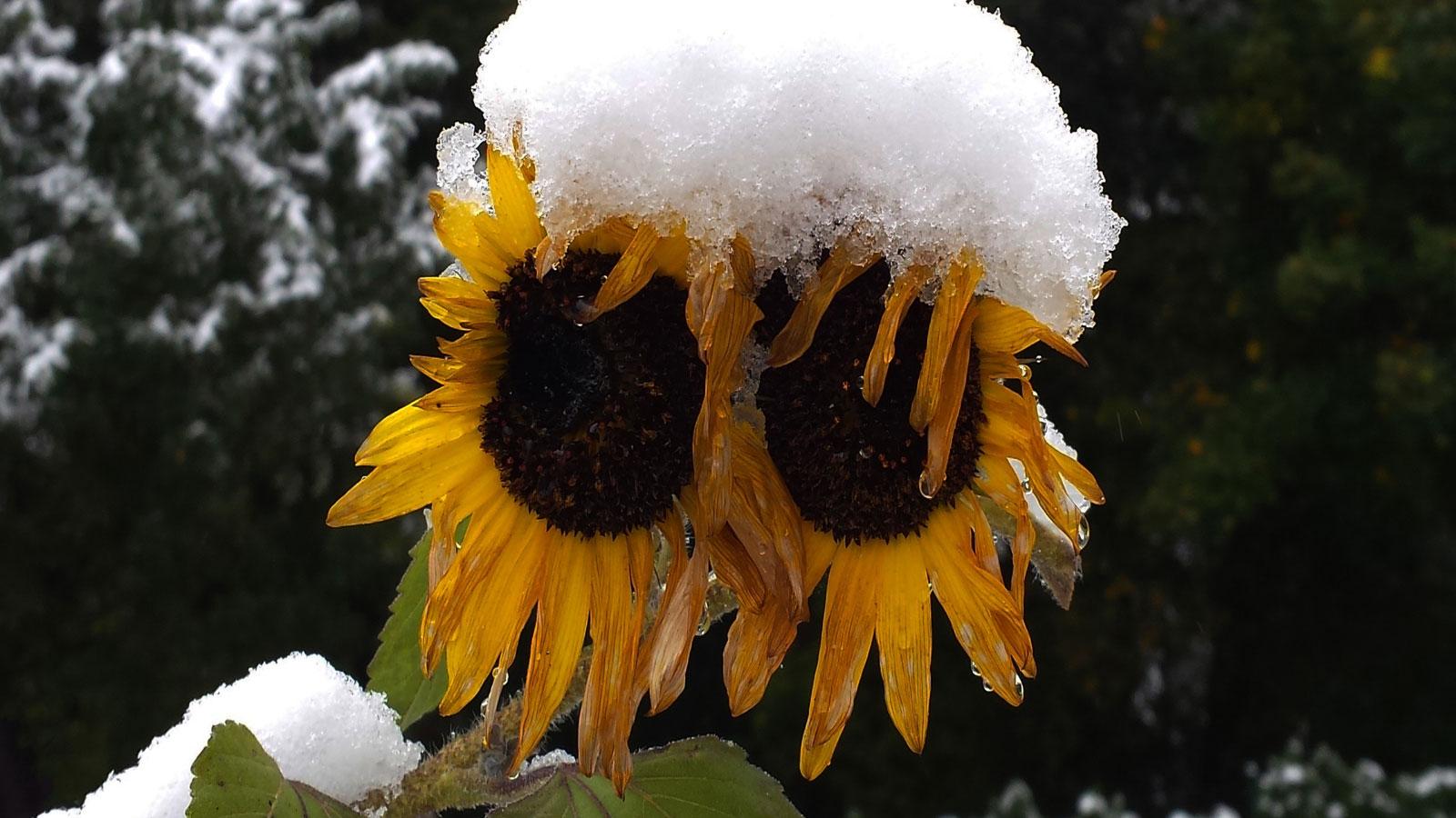 Snow on sunflower